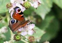 Tagpfauenauge auf den Brombeerblüten (c) FRank Koebsch (10)