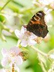 Tagpfauenauge auf den Brombeerblüten (c) FRank Koebsch (11)