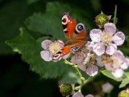 Tagpfauenauge auf den Brombeerblüten (c) FRank Koebsch (12)