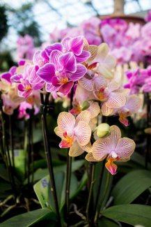 Ein Meer von Orchideenblüten (c) FRank Koebsch (1)