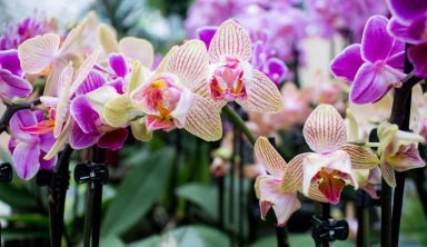 Ein Meer von Orchideenblüten (c) FRank Koebsch (2)