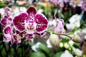Farbspiel der Orchideen bei Grönfingers (c) Frank Koebsch (1)