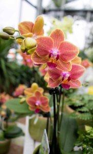 Farbspiel der Orchideen bei Grönfingers (c) Frank Koebsch (2)