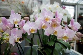 Farbspiel der Orchideen bei Grönfingers (c) Frank Koebsch (4)