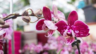 Farbspiel der Orchideen bei Grönfingers (c) Frank Koebsch (6)