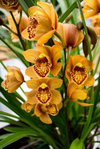 Farbspiel der Orchideen bei Grönfingers (c) Frank Koebsch (9)