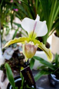 Frauenschuh -Orchideen bei Grönfingers (c) Frank Koebsch (1)