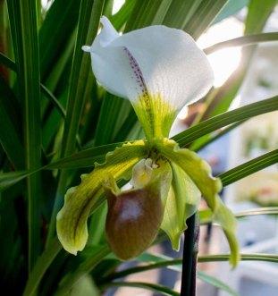 Frauenschuh -Orchideen bei Grönfingers (c) Frank Koebsch (2)