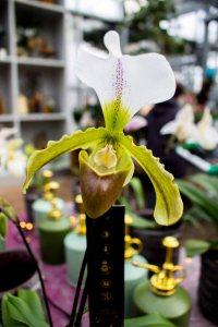 Frauenschuh -Orchideen bei Grönfingers (c) Frank Koebsch (3)