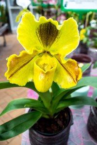Frauenschuh -Orchideen bei Grönfingers (c) Frank Koebsch (5)