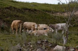 Kühe auf den Wiesen an der Recknitz (c) Frank Koebsch (5)