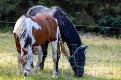 Pferde auf den Wiesen an der Recknitz (c) Frank Koebsch (5)