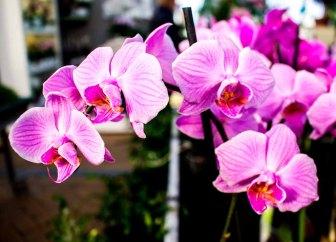 Rosa Orchideen bei Grönfingers (c) Frank Koebsch (1)