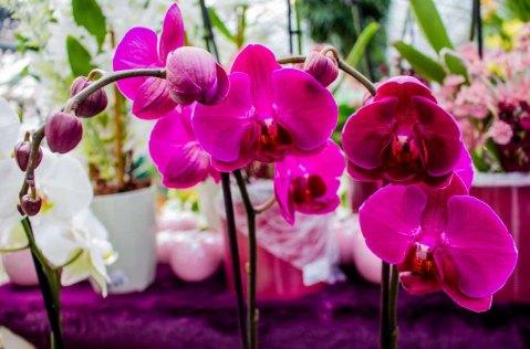 Rosa Orchideen bei Grönfingers (c) Frank Koebsch (2)