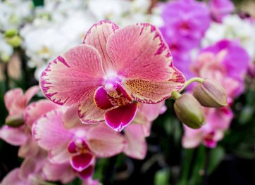 Rosa Orchideen bei Grönfingers (c) Frank Koebsch (3)