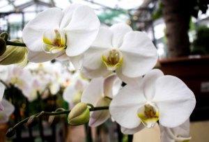 Weiße Orchideen bei Grönfingers (c) Frank Koebsch (1)