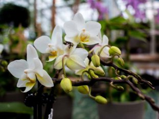 Weiße Orchideen bei Grönfingers (c) Frank Koebsch (2)