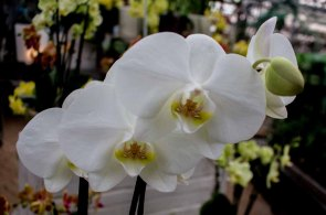 Weiße Orchideen bei Grönfingers (c) Frank Koebsch (3)