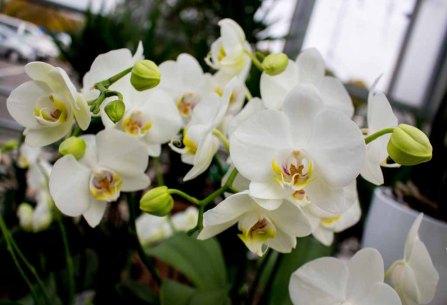 Weiße Orchideen bei Grönfingers (c) Frank Koebsch (4)