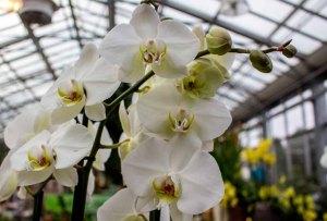 Weiße Orchideen bei Grönfingers (c) Frank Koebsch (5)