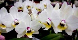 Weiße Orchideen bei Grönfingers (c) Frank Koebsch (7)