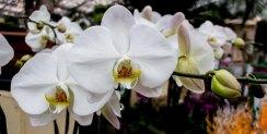 Weiße Orchideen bei Grönfingers (c) Frank Koebsch (8)