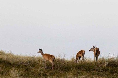 Hirschkühe auf den Dünen am Darßer Ort © Frank Koebsch (1)