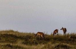 Hirschkühe auf den Dünen am Darßer Ort © Frank Koebsch (2)