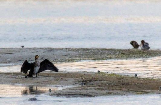 Kormoran am Ostseestrand in der Nähe des Nothafen Darßer Ort © Frank Koebsch