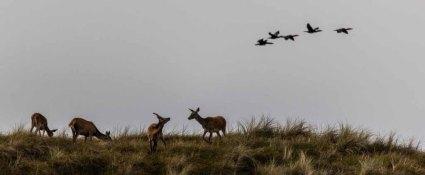 Kormorane und Hirsche auf den Dünen am Darßer Ort © Frank Koebsch (3)