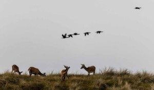 Kormorane und Hirsche auf den Dünen am Darßer Ort © Frank Koebsch (4)
