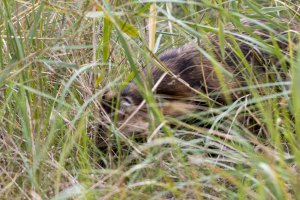 Marderhund im Gras am Darßer Ort (c) Frank Koebsch
