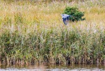 Reiher über den Boddenwiesen am Darßer Ort © Frank Koebsch (1)