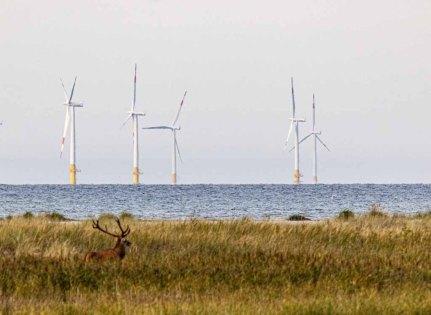 Rothirsch vor den Windrädern des Windparks Baltic 1 © Frank Koebsch (1)