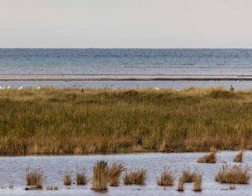 Seeadler in den Boddenwiesen am Darßer Ort © Frank Koebsch