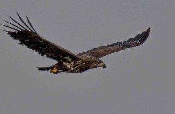 Seeadler über den Dünen am Darßer Ort (c) Frank Koebsch (3)
