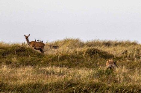 Stare helfen bei der Körperpflege der Hirsche an der Ostsee (c) FRank Koebsch (1)