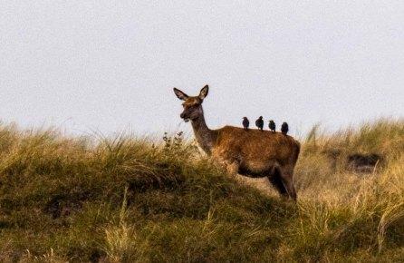 Stare helfen bei der Körperpflege der Hirsche an der Ostsee (c) FRank Koebsch (2)