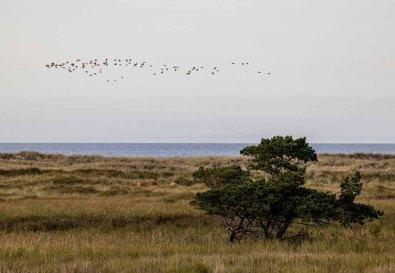 Vogelzug am Darßer Ort (c) Frank Koebsch