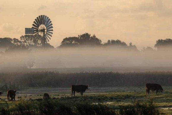 Kühe im Nebel auf den Wiesen des Mönchguts (c) Frank Koebsch (1)