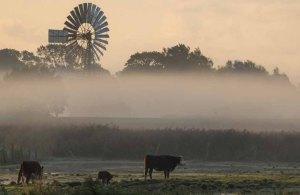 Kühe im Nebel auf den Wiesen des Mönchguts (c) Frank Koebsch (2)