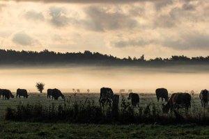 Kühe im Nebel auf den Wiesen des Mönchguts (c) Frank Koebsch (4)