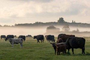 Kühe im Nebel auf den Wiesen des Mönchguts (c) Frank Koebsch (5)