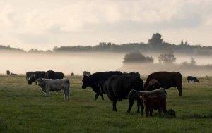 Kühe im Nebel auf den Wiesen des Mönchguts (c) Frank Koebsch (6)