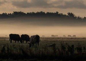 Kühe im Nebel auf den Wiesen des Mönchguts (c) Frank Koebsch (7)