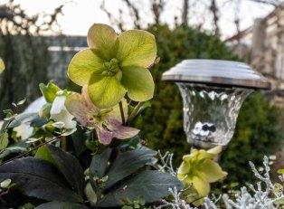 Christrosen in unserem Garten - Dezember 2020 (c) Frank Koebsch (1)