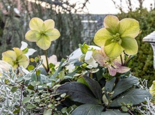 Christrosen in unserem Garten - Dezember 2020 (c) Frank Koebsch (2)