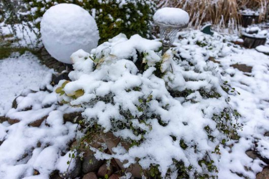 Der erste Schnee bedeckt die Christrosen in unserem Garten (c) Frank Koebsch (1)