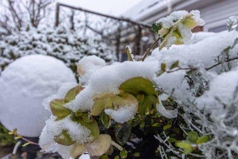Der erste Schnee bedeckt die Christrosen in unserem Garten (c) Frank Koebsch (2)