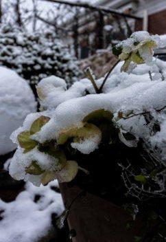 Der erste Schnee bedeckt die Christrosen in unserem Garten (c) Frank Koebsch (3)